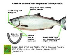 Chinook Salmon Diagram